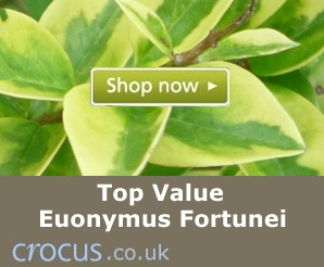 Top value Euonymus Fortunei plants