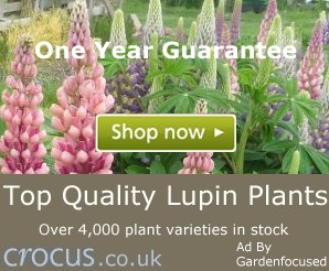 25 Cottage Garden Lupin Seeds Mixed Colours