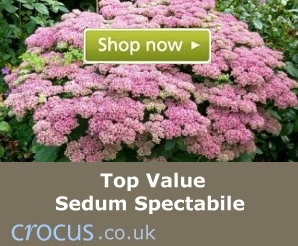 Top value Sedum spectabile plants