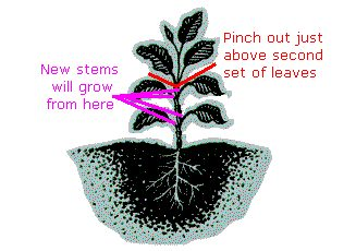 Where to prune basil leaves and stems
