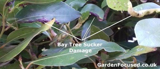 Expert Advice On Bay Tree Care Gardenfocused Co Uk