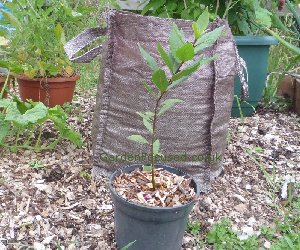 A young single stemmed bay tree