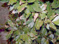 Browning leaves on a bay tree