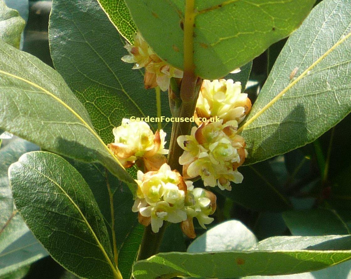 Expert Advice On Bay Tree Care Gardenfocused