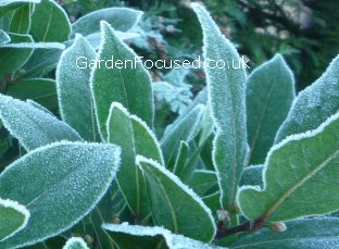 Frost on bay tree leaves