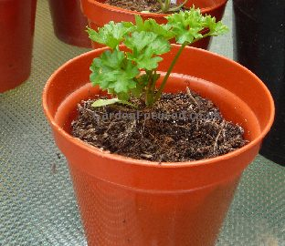 Parsley ready for potting on