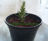 Planted cutting from a rosemary herb