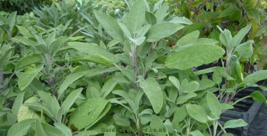 Sage grown in the UK