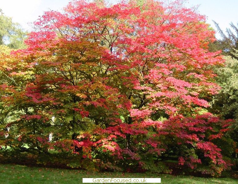 Pictures And Information About Acer Japonicum Vitifolium