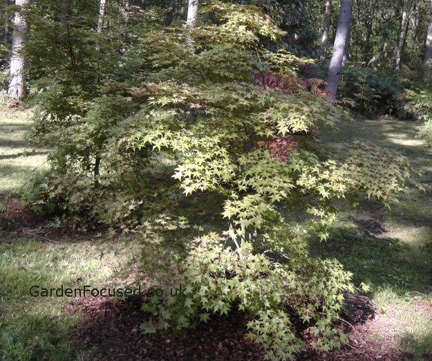 Pictures And Information Japanese Maple Corallinum