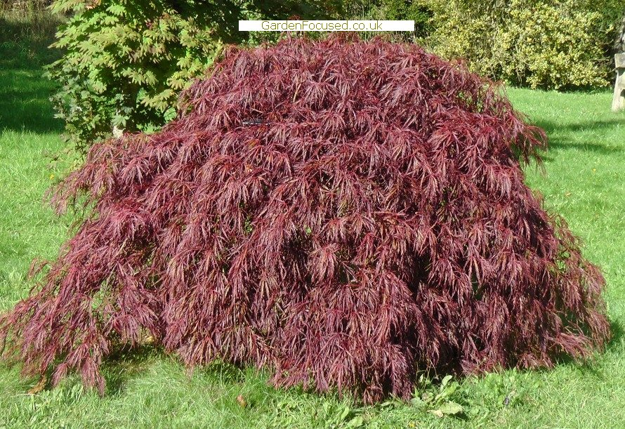 Pictures And Information Japanese Maple Crimson Queen