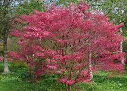 Japanese Maple Tree Deshojo