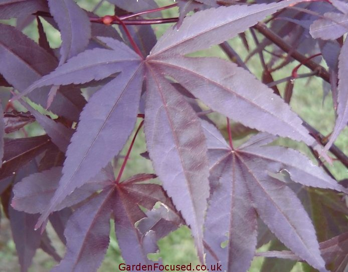 Pictures And Information Japanese Maple Emperor 1