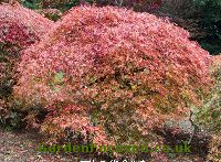 Japanese Maple -- Insect problem causing bark damage - Ask ... |Japanese Maple Red Beetle