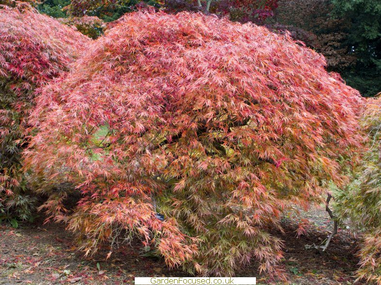 Japanese beetle and Japanese Maple - Ask an Expert |Japanese Maple Red Beetle