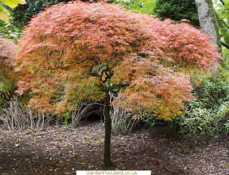 Pictures Information Of Acer Palmatum Ornatum