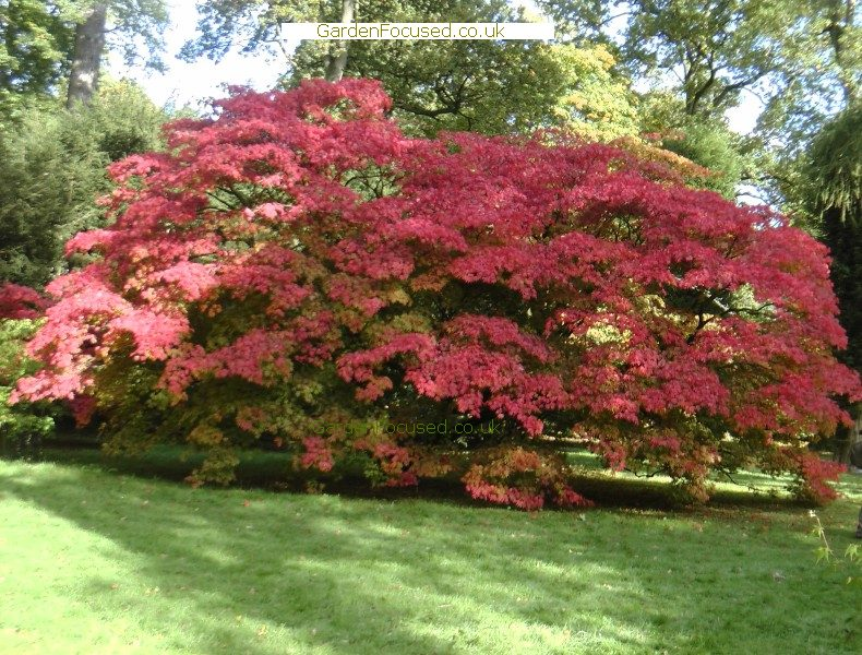 Japanese Maple Tree Height Images