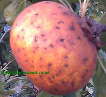 Apple Diseases And Pests