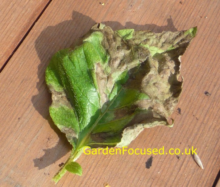 A Leaf With Potato Blight