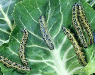 Kapusta głowiasta, brukselka, kalafior i brokuł - Szkodniki i choroby