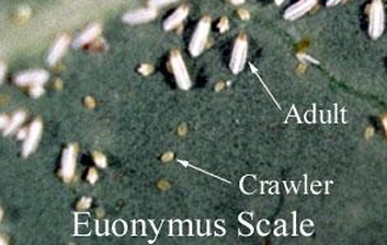 Euonymus Scale insects