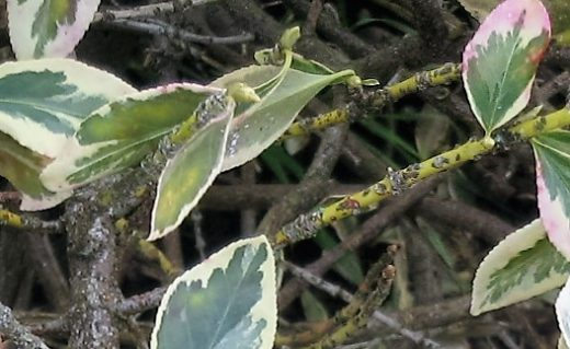 Euonymus Scale females