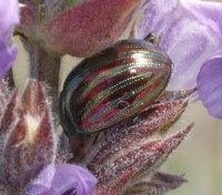 Rosemary beetle on lavender plant