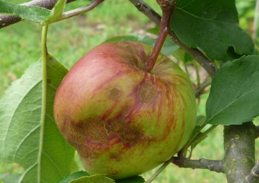 Apple fruit affected by scab