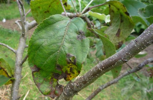 Scab affecting an apple leaf