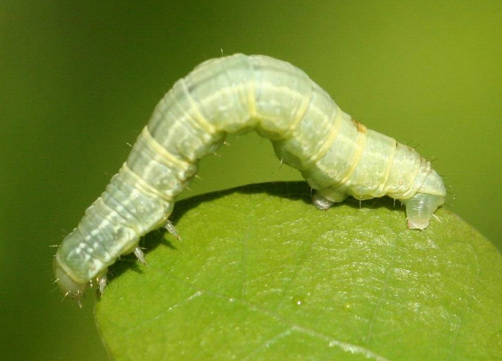 Identify And Treat The Winter Moth