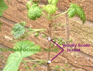 Woolly Scale Insect
