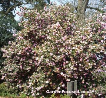 Expert Advice On Growing Camellia In The Uk