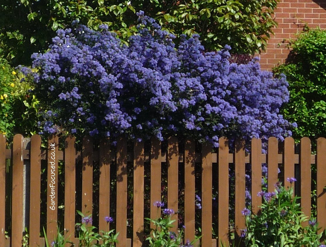 Expert advice on growing ceanothus in the uk a ceanothus in full flower izmirmasajfo