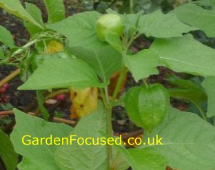 Green pods of the Chinese lantern plant