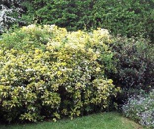 expert advice on growing choisya in the uk. Black Bedroom Furniture Sets. Home Design Ideas