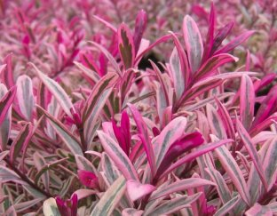 Expert advice on growing hebes in the uk for Hebe pianta