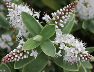 Expert advice on growing Hebes in the UK