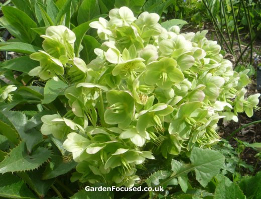 Expert Advice On Growing And Caring For Hellebores