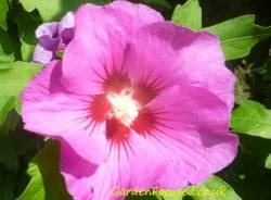 Hibiscus syriacus / Rose of Sharon