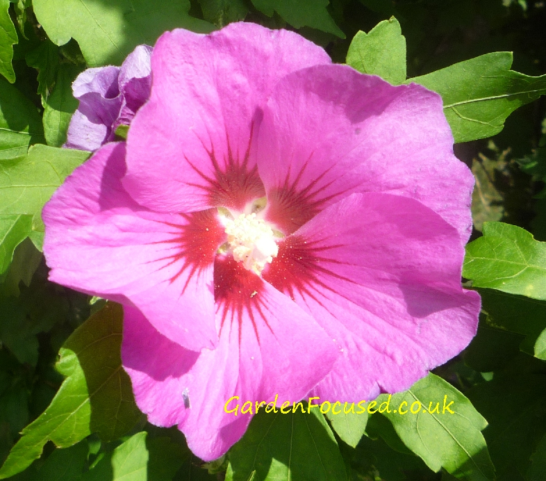 Expert advice on hibiscus syriacus rose of sharon flower of hibiscus syriacus mightylinksfo