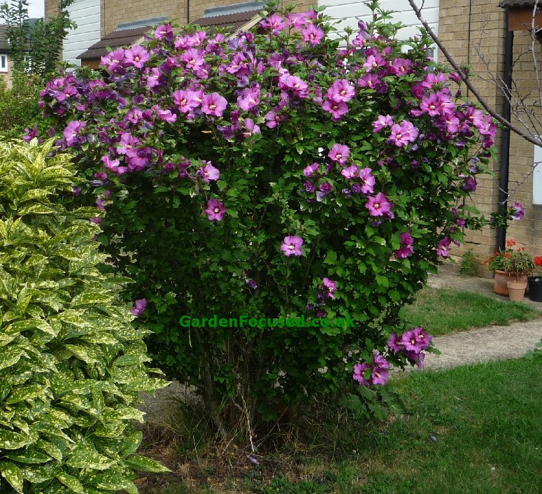 Expert advice on Hibiscus syriacus (Rose of Sharon)