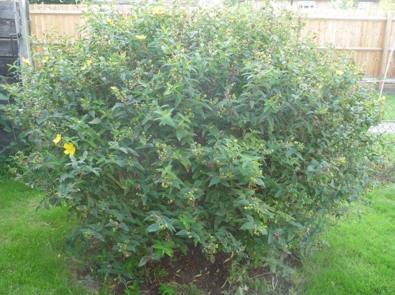 Expert advice on growing Hypericum Hidcote in the UK