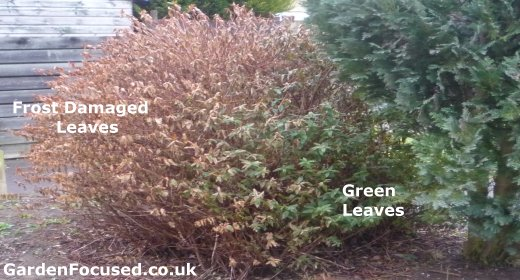 Frost and wind damage to an Hypericum shrub