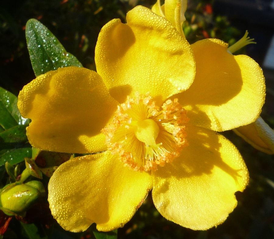 Expert advice on growing hypericum hidcote in the uk hypericum flower close up mightylinksfo