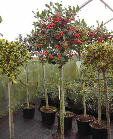 Expert advice on growing evergreen Holly in the UK