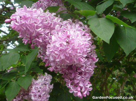 Care for a mature lilac bush consider