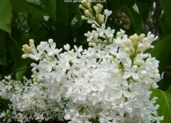 Close up of white lilac tree flower