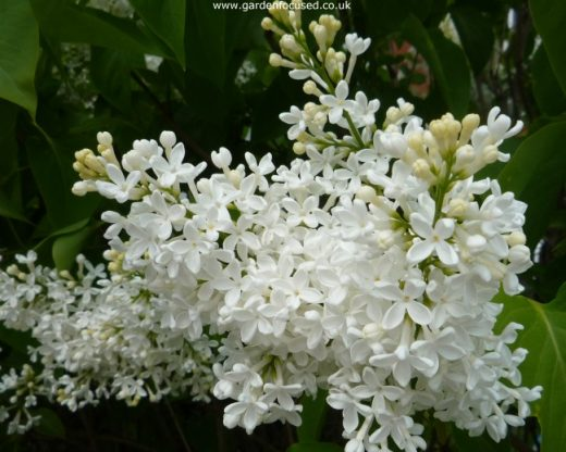 expert advice on caring for your lilac tree