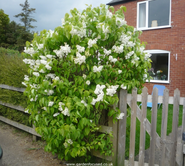 Expert advice on caring for your lilac tree white flowered lilac mightylinksfo