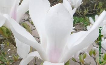 Expert Advice On Growing Magnolias In The Uk